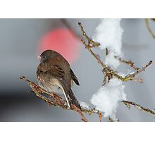 Sparrow in the Snow Photographic Print