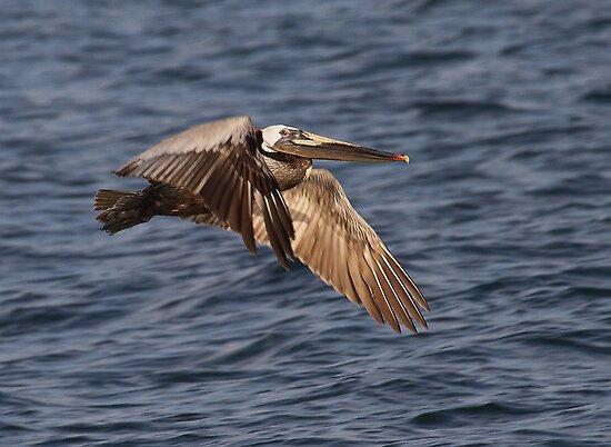 Brown Pelican In Flight by Michael  Moss