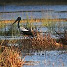 The Wetlands Visitor by byronbackyard