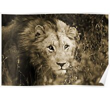 Young Male Lion - Hluhluwe Poster