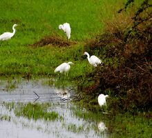 Egrets...Coquille, Oregon by trueblvr