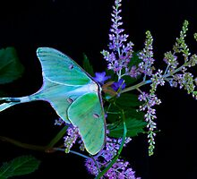 Luna Moth Astilby flower Black background by Randy & Kay Branham
