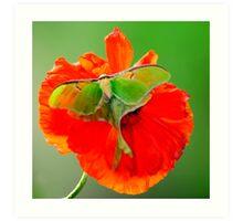 Luna Moth poppy orange square format Art Print