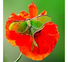 Luna Moth poppy orange square format Photographic Print