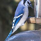 blue JAY by grsphoto