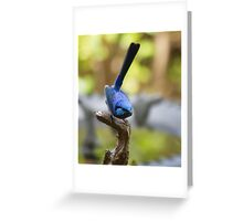 Perched, a male Blue Wren Greeting Card