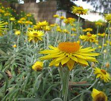 Deepdene - Paper daisies by Maureen Keogh