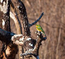 Blue-Cheeked Bee-Eater by BeccE