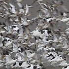 Avocets and Godwits by Neil Bygrave (NATURELENS)