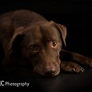 Chocolate Labrador 4 by Mark Cooper