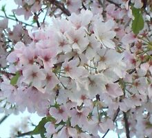Cherry Blossoms by Melissa, Sue Ball