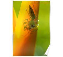 Salticidae, Jumping Spider, female - Bunderberg - Australia Poster
