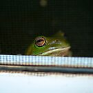 Looking in my window - Green tree Frog - Australia by Anthony Wilson