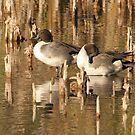 Pintail Ducks by mikepemberton