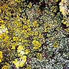 Lichen # 2 by Frederick James Norman