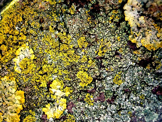 Lichen # 2 by Frederick James Norman