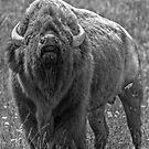 I am Bison...hear me roar! by JamesA1