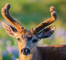 Blacktail Buck by Jim Stiles