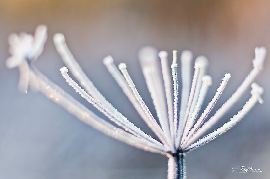 Frozen Stem by Stephen Knowles