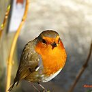 """"""" Not another Robin"""" by mrcoradour"""