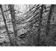 The Dead Forest Photographic Print