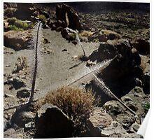 Desert Flowers Teide  Poster