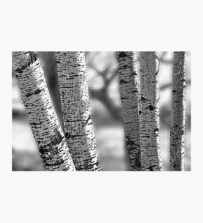 Colorado White Birch Trees in Black and White Photographic Print