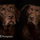 Chocolate Labrador 5 by Mark Cooper