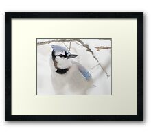 Blue Jay in Winter Framed Print