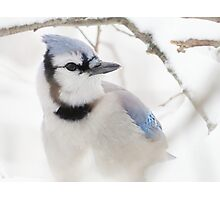 Blue Jay in Winter Photographic Print