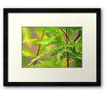 Green Cypress  Framed Print
