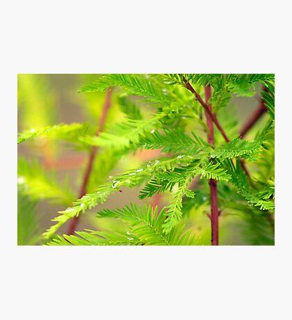 Green Cypress  Photographic Print