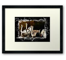 Brown and White Cygnets Framed Print