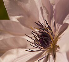 Clematis flower by Graham McAndrew