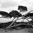Leaning Tree in The Port Lincoln National Park by myraj