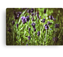Lavender Joy Canvas Print