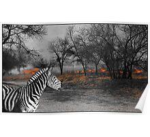 Zebra and Bush Fire Poster