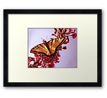 Tiger Swallowtail with CrabApple Blossoms Framed Print