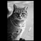 Felis Catus - Mackerel Tabby Cat  by © Sophie W. Smith