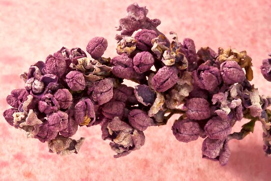 Dried Lilac Blossom Macro  by Sandra Foster
