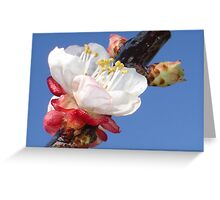 Apricot Blossom Greeting Card