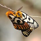 Western Sheep Moth by Arla M. Ruggles