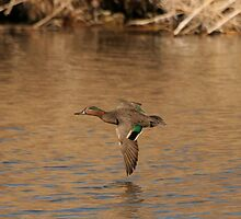Green Wing Teal. by mikepemberton