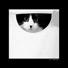 Felis Catus - Tuxedo Maine Coon Cat In Laundry Basket  by © Sophie W. Smith