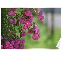 Pink Garden Roses Poster