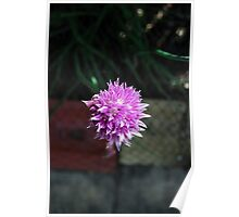 Chive flower... Poster