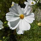 Cosmos in White by mussermd