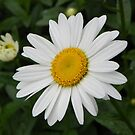 Daisy in Full Bloom by mussermd