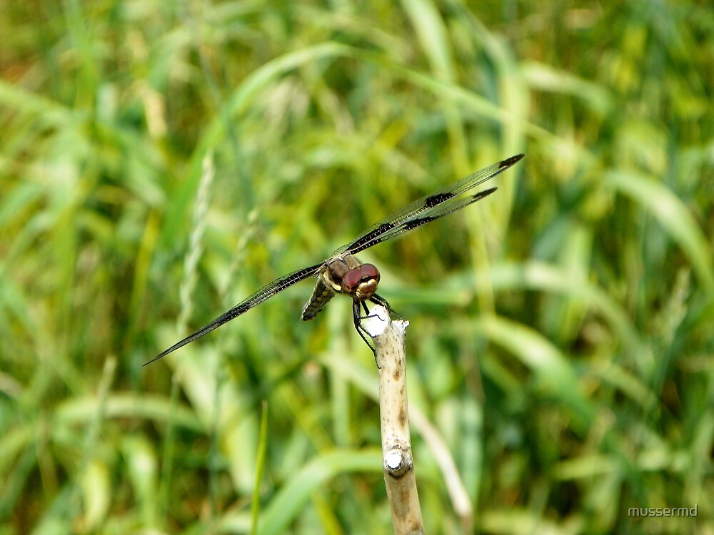 Dragonfly - Clear for Takeoff! by mussermd