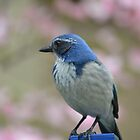 Bluebird in Spring by pencreations